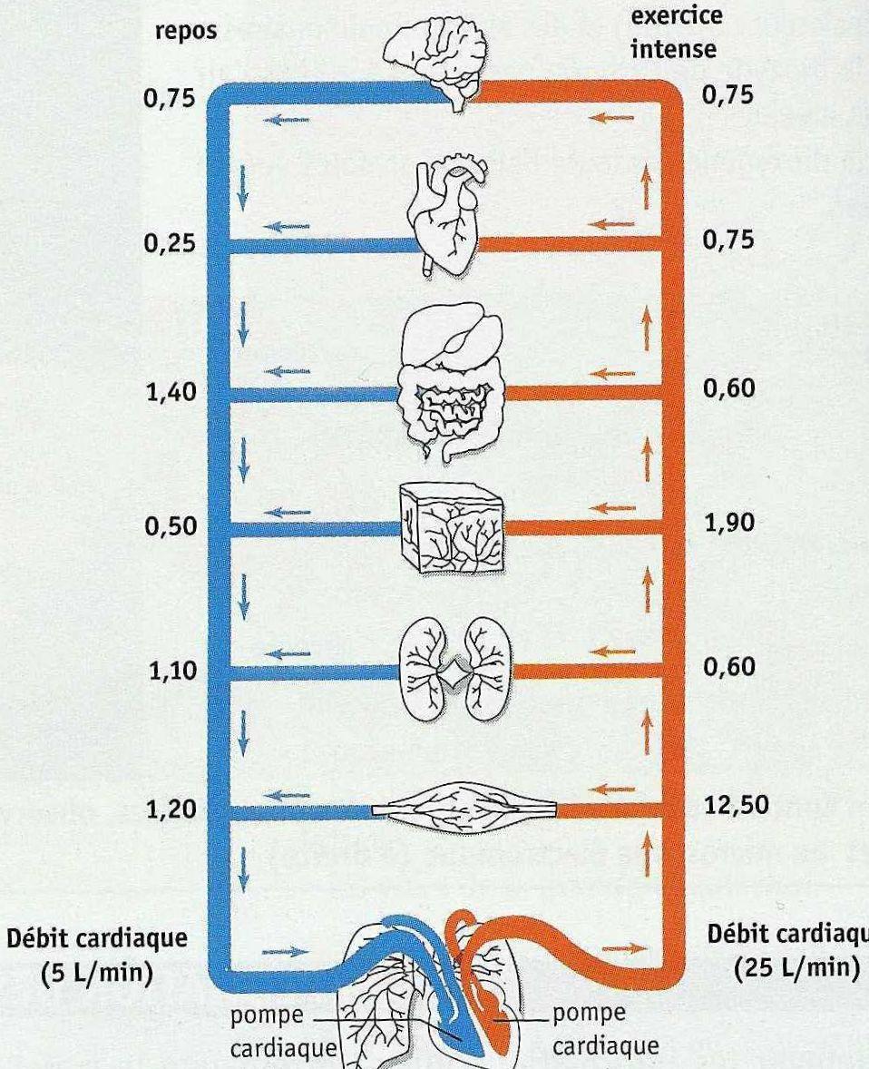vitesse circulation sanguine